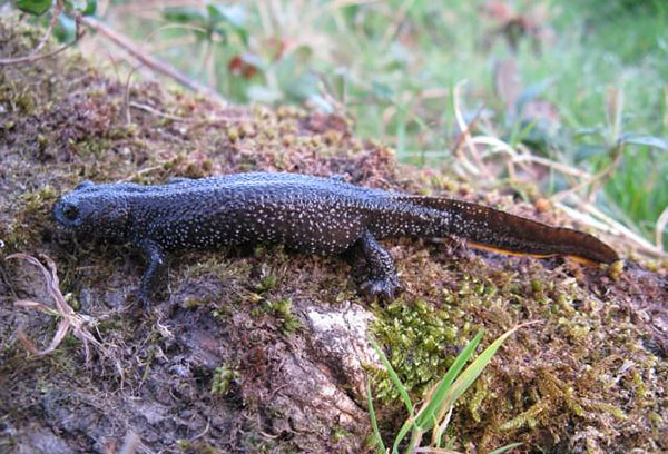 great crested newt training